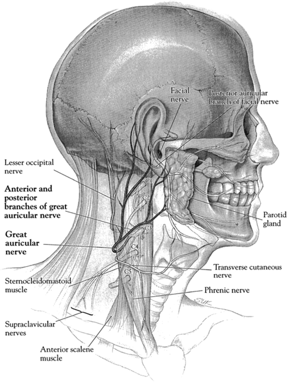 fig 1. | Great Auricular Nerve: Anatomy and Imaging in a Case of ...