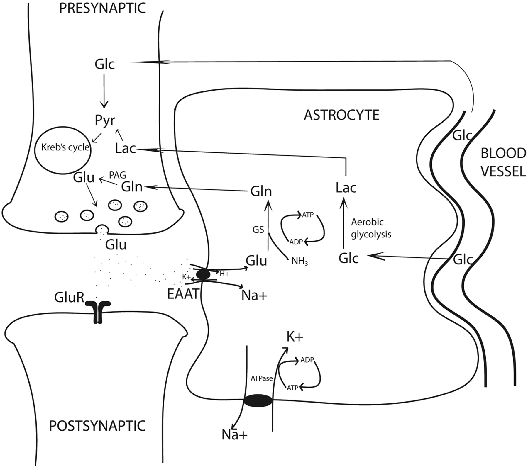 Proton mr spectroscopydetectable major neurotransmitters of the download figure ccuart Gallery