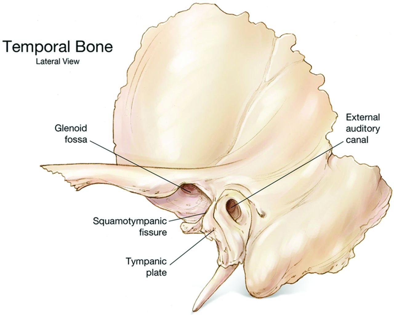 tympanic plate fractures in temporal bone trauma: prevalence and, Human Body