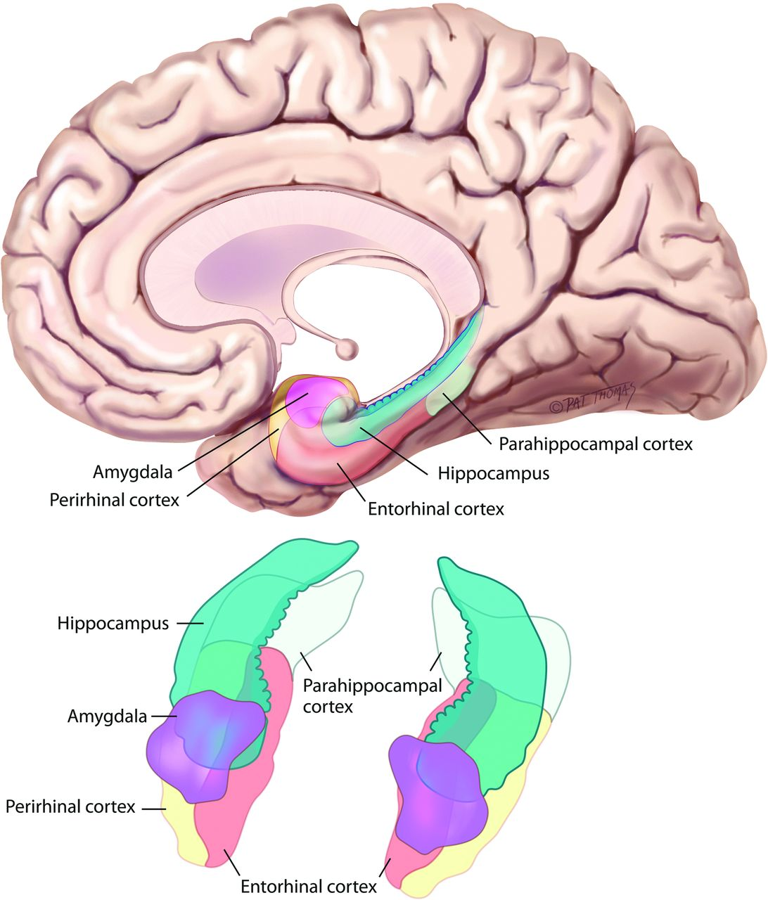 Memory Part 2 The Role Of The Medial Temporal Lobe American