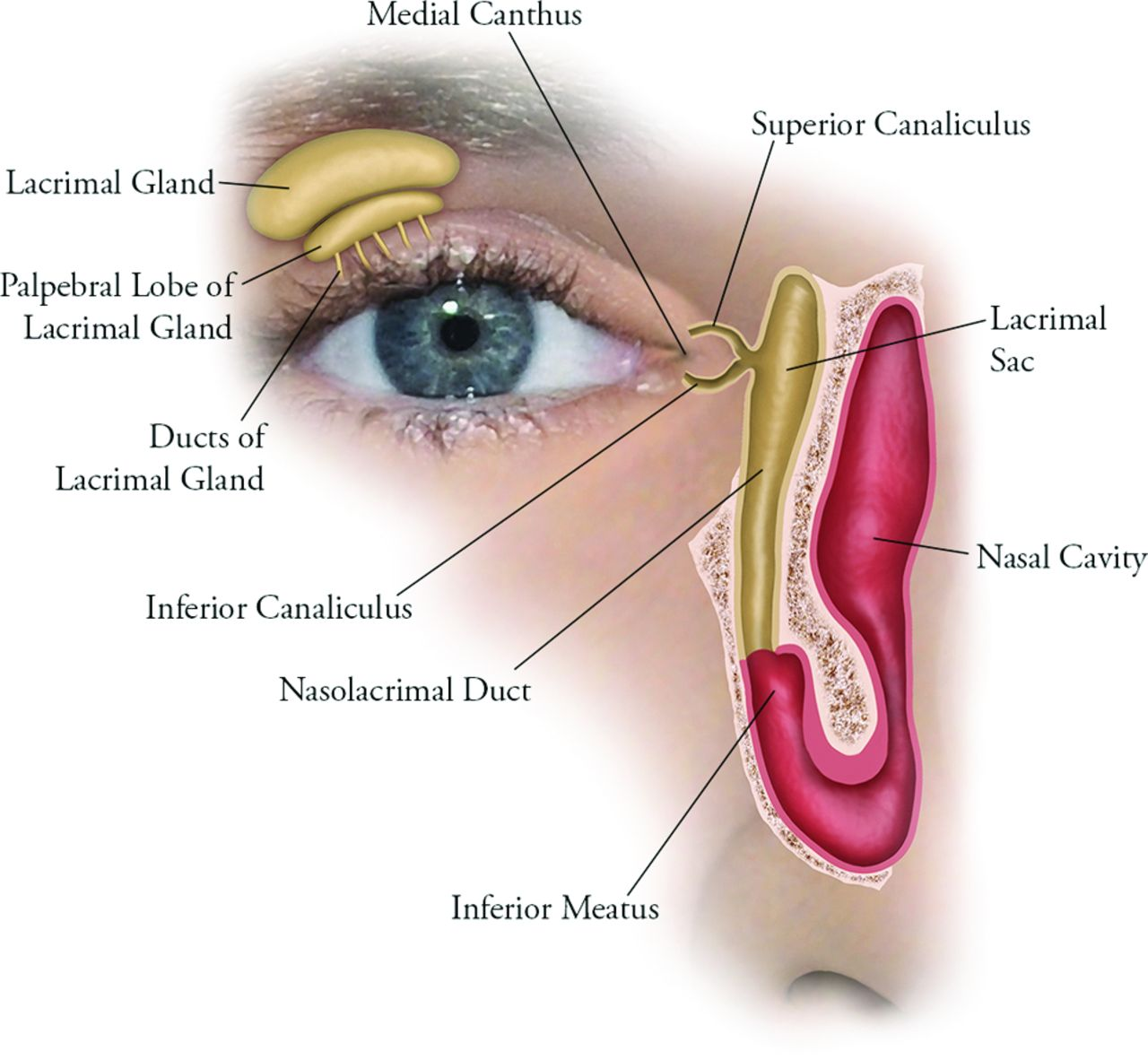 Imaging Features of Malignant Lacrimal Sac and Nasolacrimal Duct ...